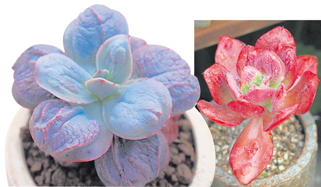 狂野男爵在成长阶段中,会有不同的颜色出现。