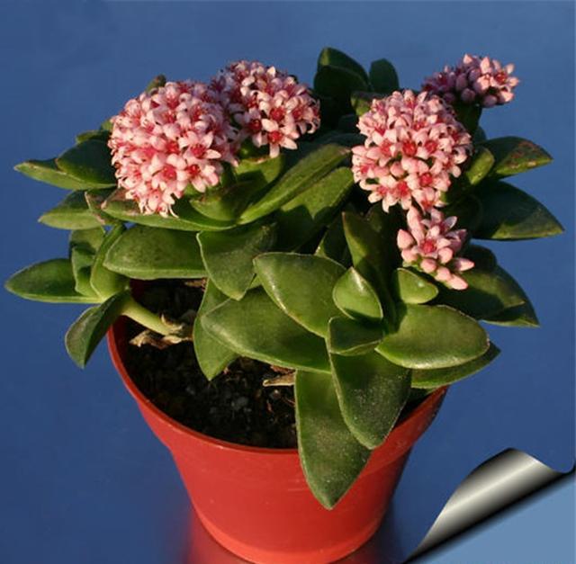 神童是一种比较奇特的多肉植物,当开花时释放出花香浓郁悠味,非常好闻。