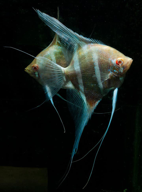 斯卡白子神仙:斯卡白子神仙,Dantum Angelfish,是最近深受水族爱好者喜欢的鱼种,据说是Shahar Danzinger将埃及(Altum)神仙鱼和秘鲁(Peruvian)神仙配对出的新品种。