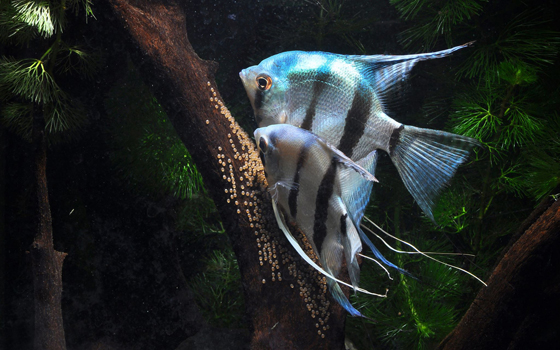 产卵:雌鱼会在清理好的位置上产出一排卵子,雄鱼就会立即尾随雌鱼之后授精,如此不断重复,直至产完为止。