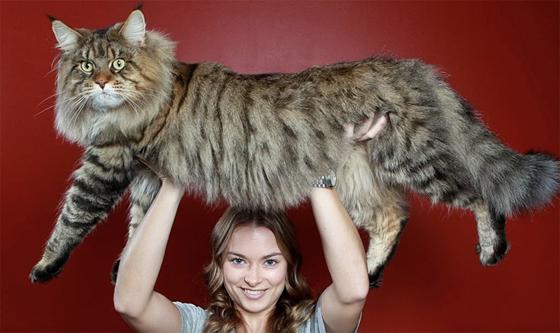 缅因猫,因产自美国缅因州而得名,是世界上体型最大的猫咪品种之一。