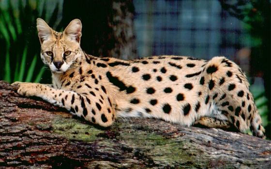 阿什拉猫是世界上最昂贵的猫咪,是一种混血猫咪,由普通家猫、非洲薮猫和亚洲豹猫的基因结合产生的。