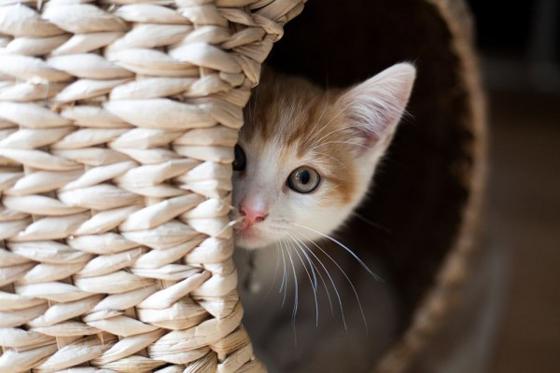 有些比较胆小的猫咪见到陌生人就会很紧张,甚至是躲起来。