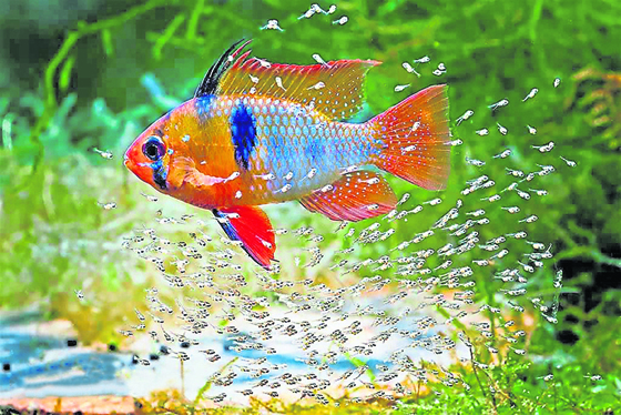 荷兰凤凰鱼会极端呵护幼鱼,为此经常欺负比自己大得多的同居鱼类。(图片提供: SanYow Su)