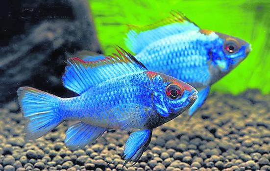 电光兰凤:此鱼有很多变异品种,色彩、外形多种多样,像电光兰凤(Electric Blue Ram)。(图片提供: SanYow Su)