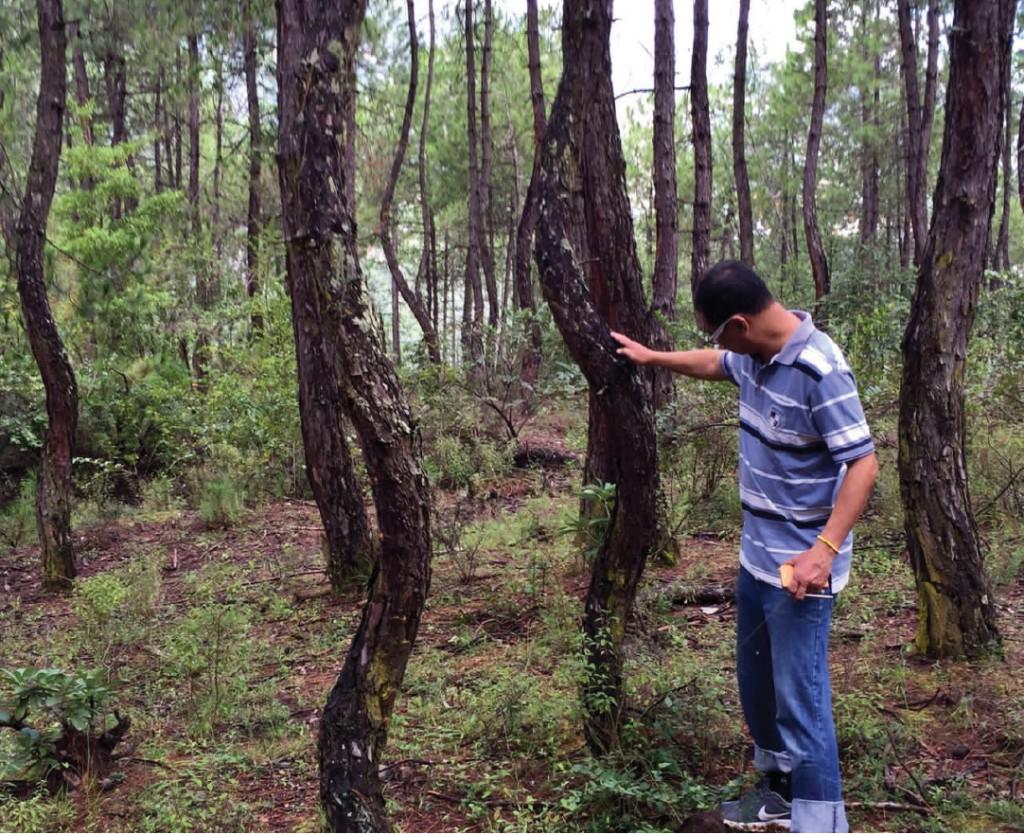 顺转松树林