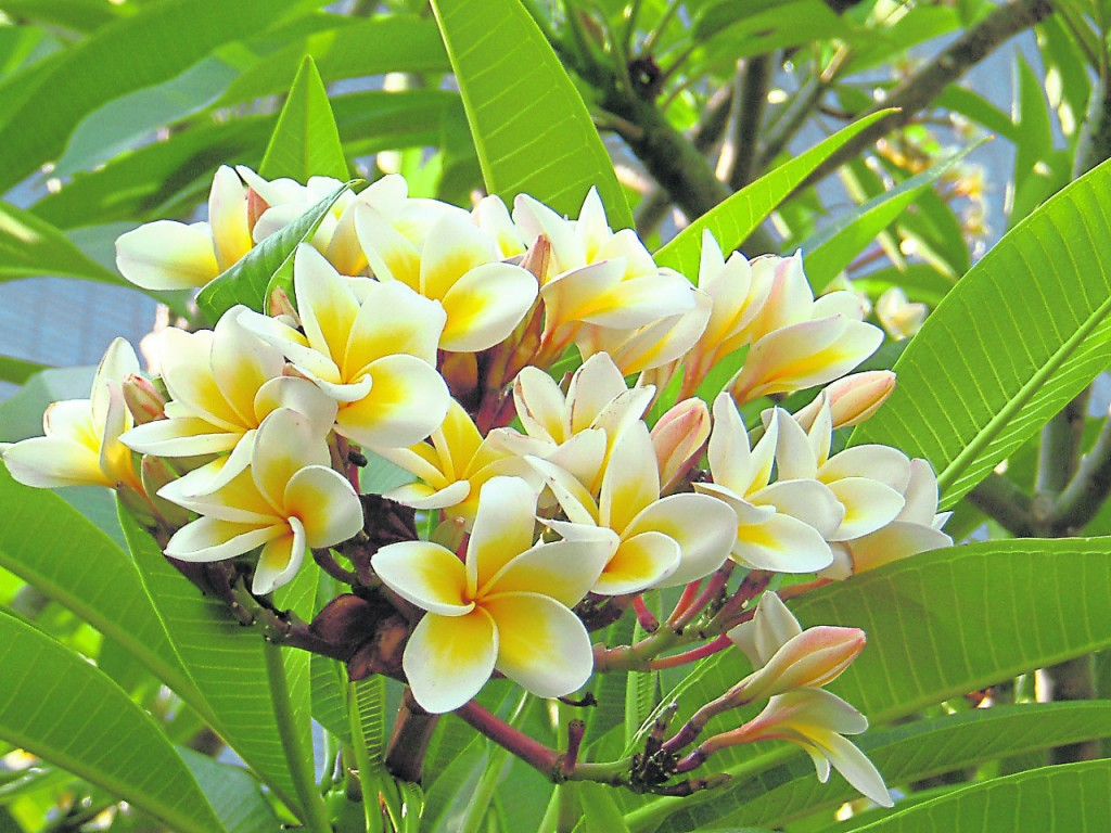 若坟墓处种鸡蛋花树,会让子孙后代陷入桃花孽缘,家庭难享天伦之日又被财务困恼。