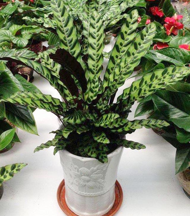 猫眼竹芋比较适合种植在半阴的环境。