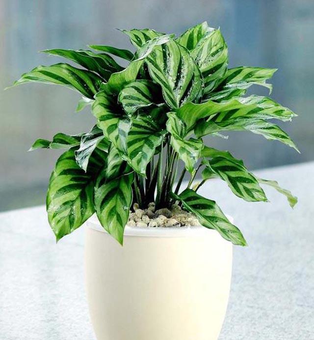 要保持猫眼竹芋环境和空气的湿润,可以采用喷洒水。