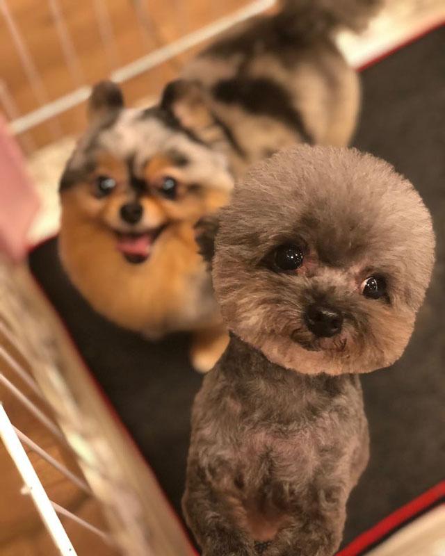 孙慧雪饲养2只松鼠狗及1只贵妇狗。