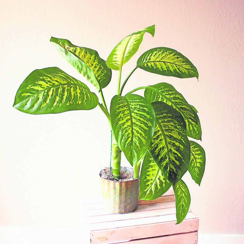 万年青是五行属水的植物,因而五行属水的人把它用作家居摆设是一个很好的选择,它能令主人的家变成风水之家,有助主人达到各种目的。