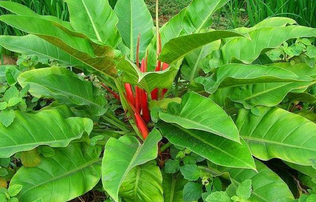 红苞喜林芋叶子上长黑色的斑点,通常是叶斑病菌感染。