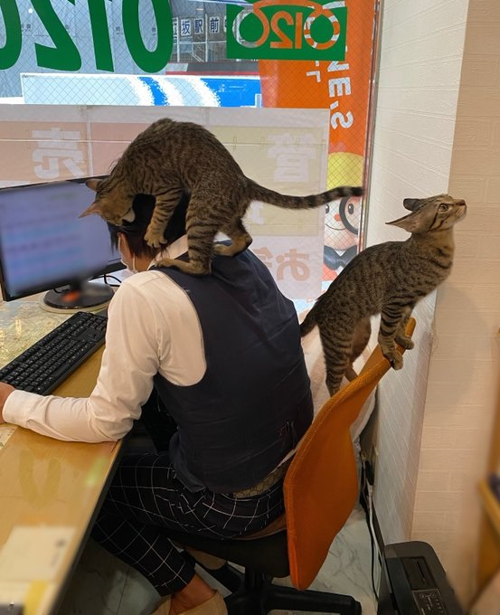 日本一家不动产业者在办公室养猫,可爱治癒的工作环境让许多人非常羡慕。