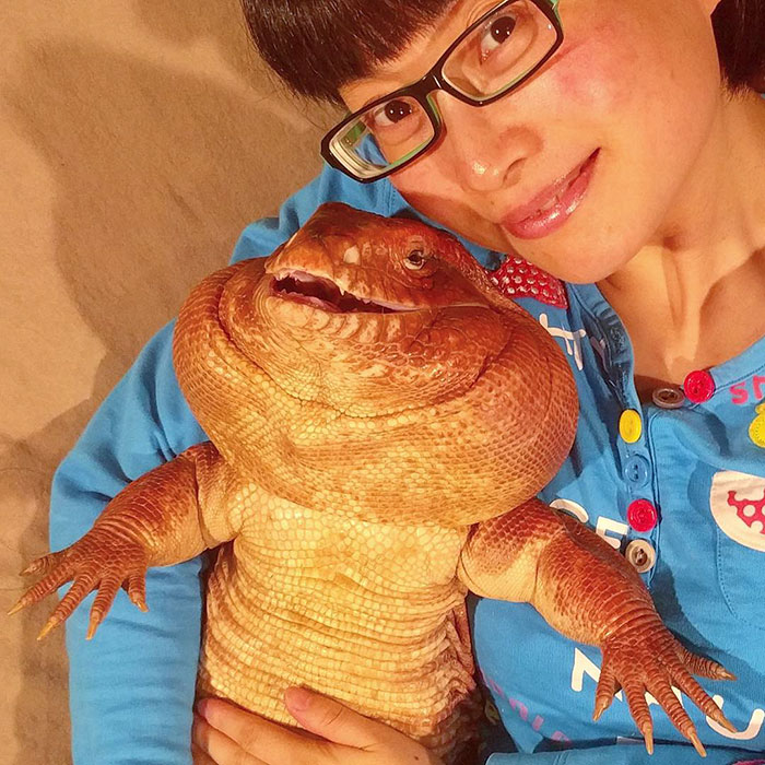 MacGyver是只阿根廷红泰加巨蜥,是主人在2012年于网络上购买回来。